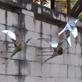 縮圖3: 飛鳥(共7件)